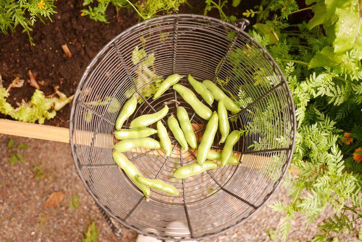 Some self-grown broad beans tuulinenpaiva.fi