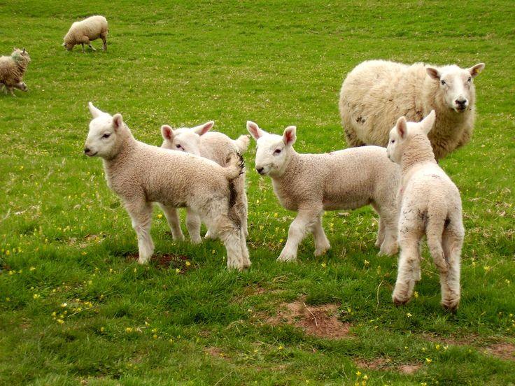 Runo z owiec to naprawdę cenny materiał. Ekologiczny wypas owiec to szczęśliwe zwierzaczki, które mają najlepszą wełnę. Wełniane owcze runo posiada charakterystyczne znaki, a to czyni, że należy z niego wytwarzać produkty wysokiej gatunkowości. Wełna owcza pozyskiwana jest przez obgolenie żywych zwierząt na polach przez rolników. #ekologicznywypasowiec http://owczyswiat.pl/ekologiczny-wypas-owiec/