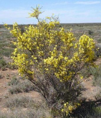 Rhigozum Obovatum in flower             Karoo Gold/Yellow Pomegranate         Geelberggranaat        S A no 675