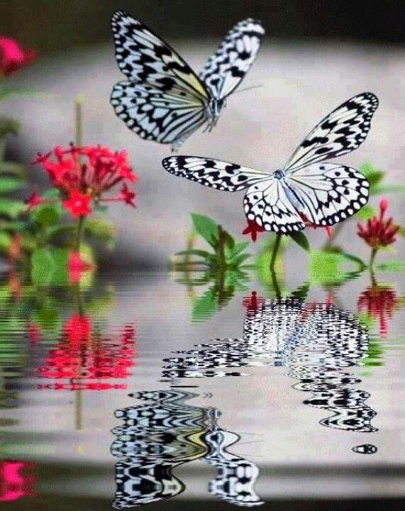 Zebra Butterflies-make lovely reflections