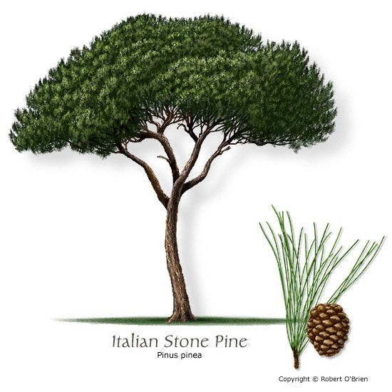 Italian stone pine. to 5 degrees. low water, reflected sun. slow growth (40-60x30-50). large scale tree needs room to grow.