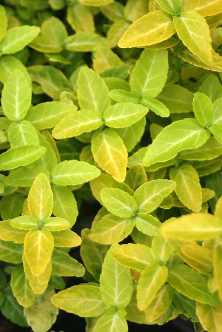Goldy Wintercreeper Euonymus Fortunei More