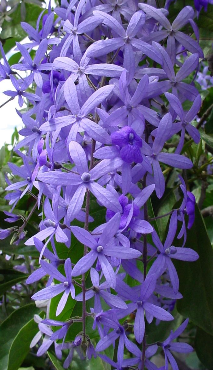 Sandpaper Vine / Queen's Wreath Vine: Petrea volubilis [Family: Verbenaceae] is an ever-green flowering vine native to Mexico and Central America. It has rough-textured leaves, and hence the common name Sandpaper-vine. It looks somewhat similar to a tropical Wisteria.