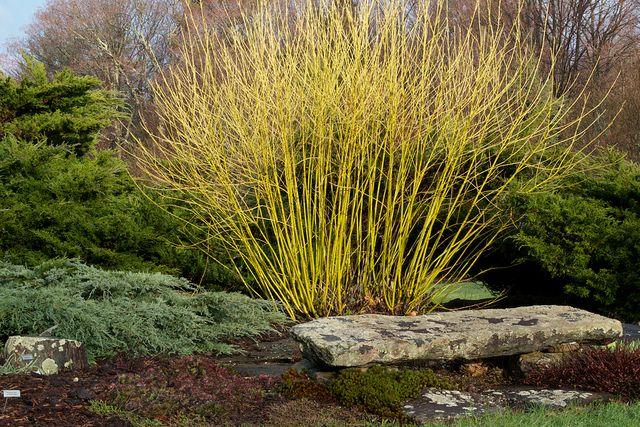 yellow twig dogwood  @Tanna Gledhill