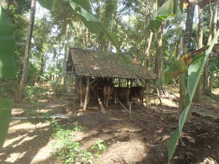 Balinese cowshed