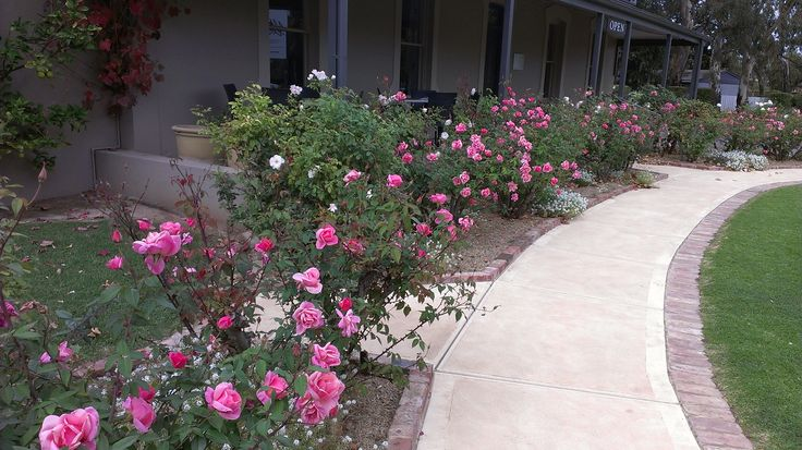 The beautiful 'Lorraine' roses in bloom in May, bringing great colour to our Cellar Door.