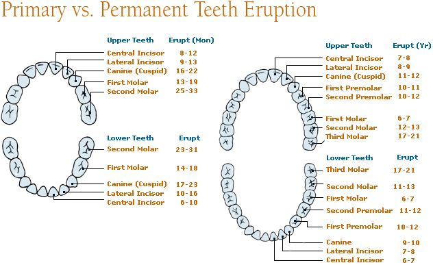 Permanent Teeth Eruption | Differences between Primary Teeth (Milk Teeth) and Permanent Teeth ...