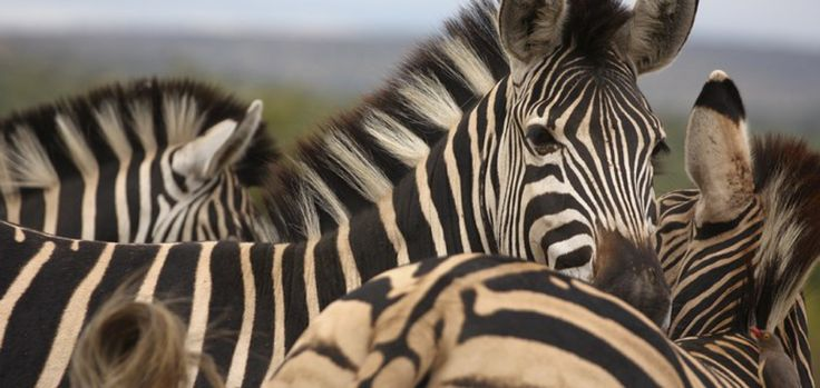 Enjoy a 2-hr game drive before a bubbly tasting in Stellenbosch! #zebras #safari