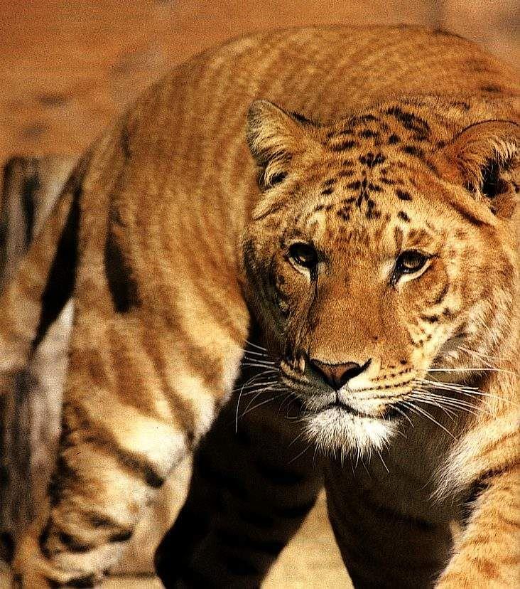95 best images about Big Cats!!!!!! on Pinterest | Animals, A lion ...