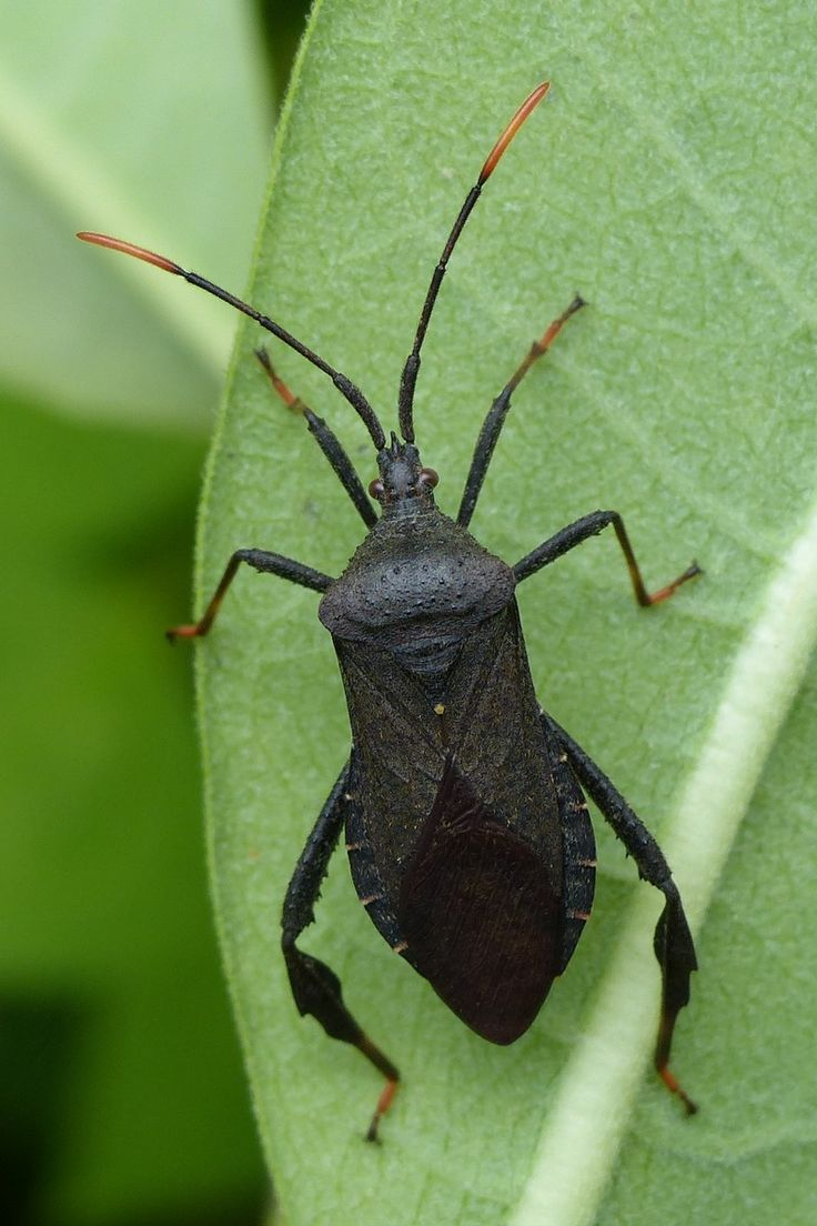 http://faaxaal.forumgratuit.ca/t3781-photo-de-coreide-acanthocephala-terminalis-leaf-footed-bug-punaise-a-pattes-foliacees-squash-bug-clown-bug-tip-wilter