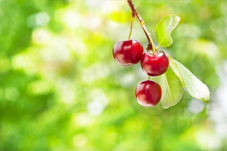 Řez ovocných stromů: třešně
