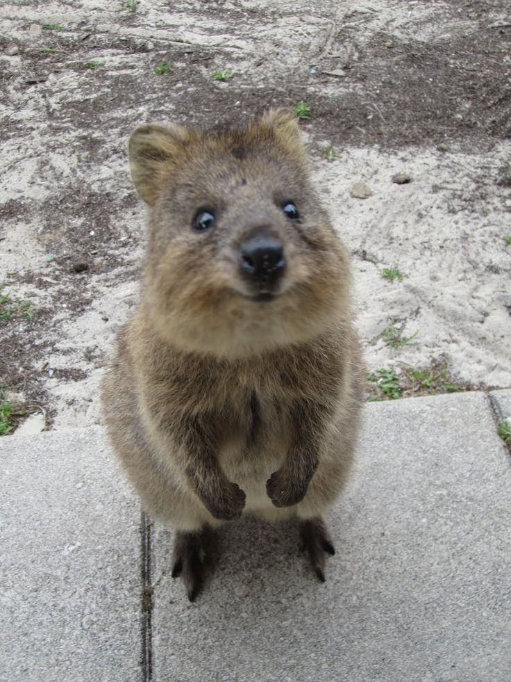 baby quokka - these animals only live on 1 island in the world and nobody inhabits the island. It's called Rottnest Island of the coast of Perth. If you have fresh water, they come sit on you to drink even though they are wild. So cute!: