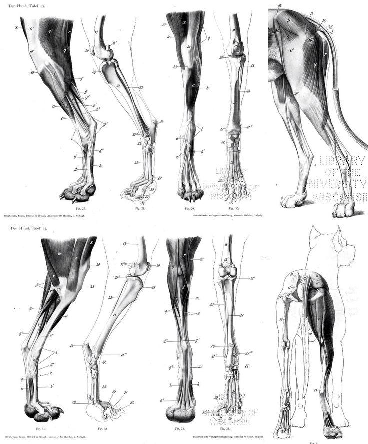 235 best dog/wolf anatomy/study images on Pinterest | Animal anatomy ...