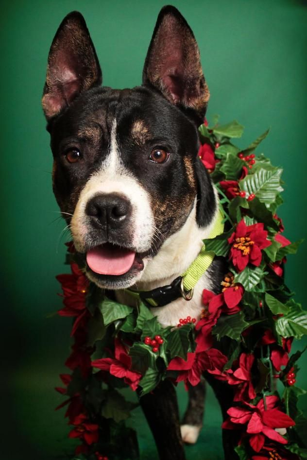 Bane - URGENT - City of Corsicana Animal Shelter, Corsicana, Texas - ADOPT OR FOSTER - 2 year old Male Shepherd/Boston Terrier Mix