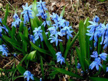 Луковичные цветы -  СЦИЛЛА, Первоцвет.