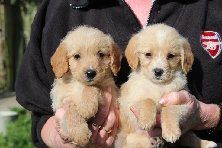 Poogle Poodle Beagle Mix Facts Temperament Puppies Pictures