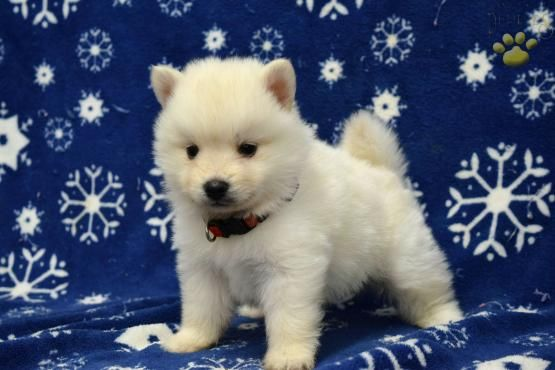 Romeo - Pomsky Puppy for Sale in Millersburg, OH | Lancaster Puppies
