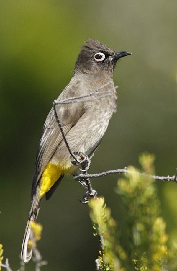 Cape Bulbul strikes a pose... They are an endemic resident breeder in coastal bush, open forest, gardens and fynbos in southern South Africa.
