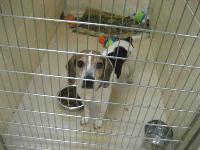 Beagle Dog For Adoption In Center Township Pa Adn 784645 On