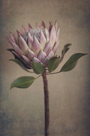 """Protea&Fynbos"" print set by Natascha van Niekerk Fine Art Photography"