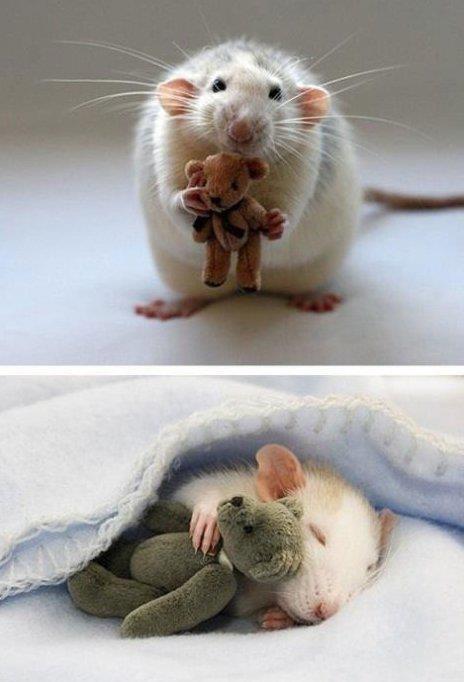 Little Hamster - Little Bear: Snuggles, Friends, Pet Mice, So Cute, Teddy Bears, Pet Rats, Petrat, So Sweet, Animal