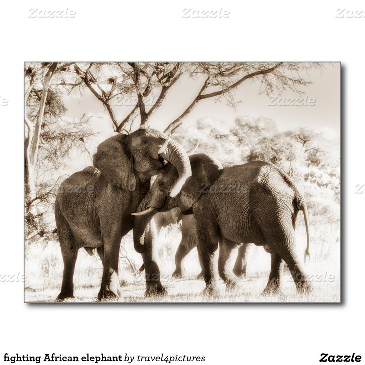 fighting African elephant Postcard
