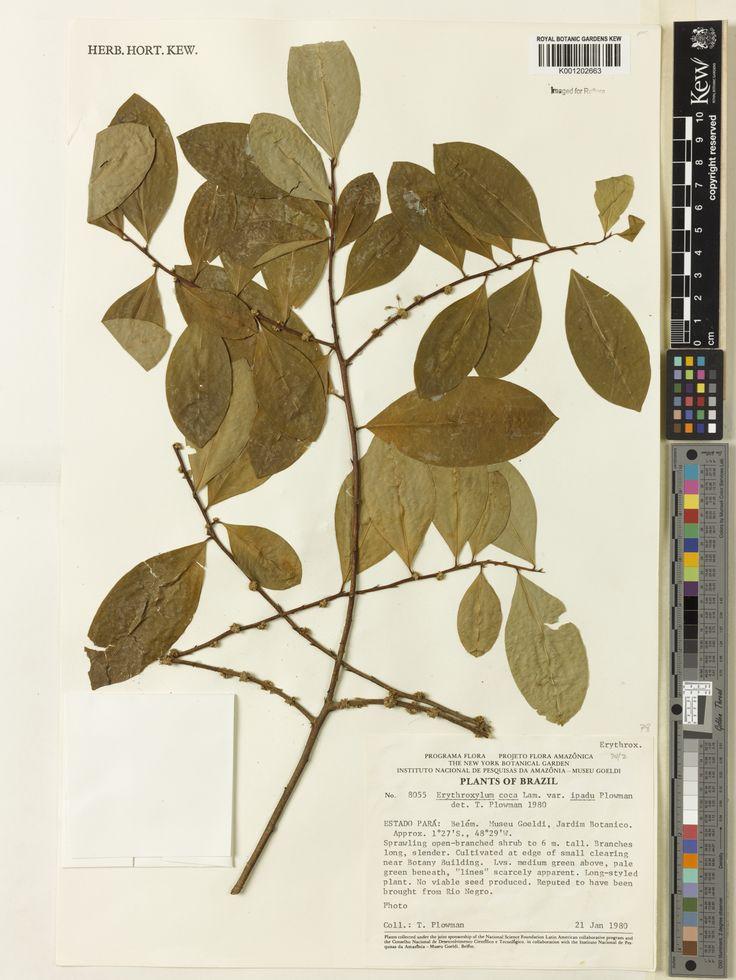 SpecimenK001202663  Current nameErythroxylum coca var. ipadu  Collector & no:Plowman, T.       8055