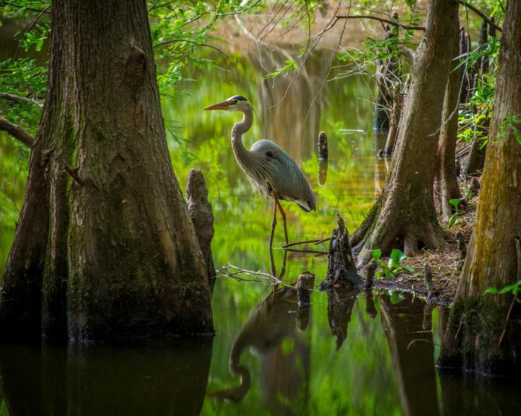 Great Blue Heron at East End Park - Kingwood, Texas