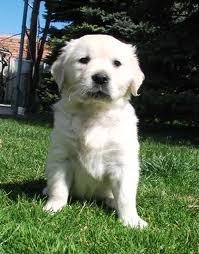 Very Cute puppy!!! (White) Golden Retriever Puppy Mix
