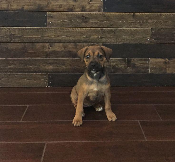 Boxer/ lab mix puppy