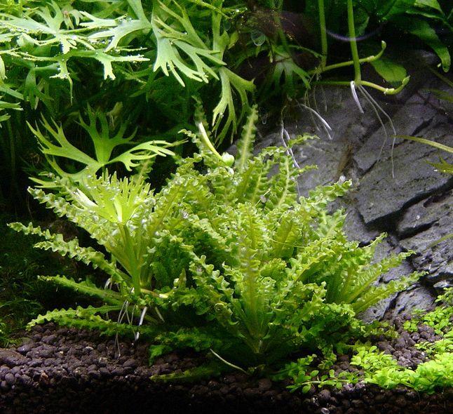 Les 72 meilleures images du tableau les plantes d 39 aquarium d 39 eau douce sur pinterest aquariums - Plantes d aquarium eau douce ...