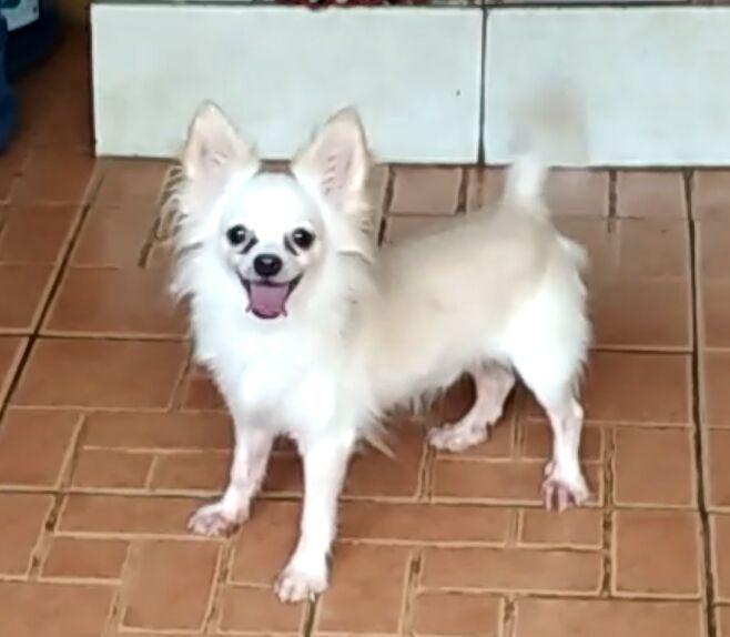 Dijual Anjing Chihuahua Jual Chihuahua Long Hair Lokasi Surakarta Minat Hub 085801034458 No Iklan 1818 Informasi L Anjing Chihuahua Anjing Chihuahua