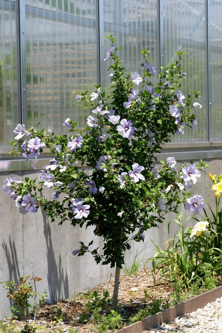 137 best Rose of Sharon, looks like hibiscus. it\'s not images on ...