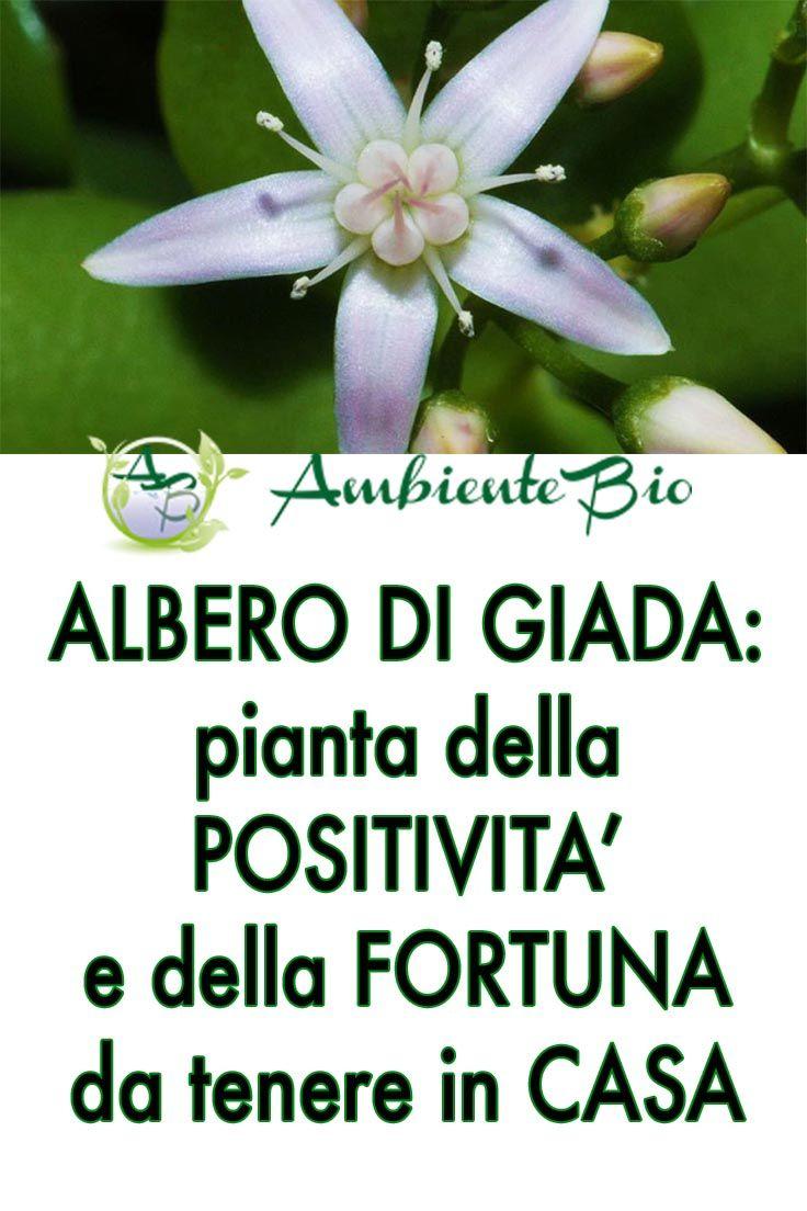 Albero Della Fortuna Pianta albero di giada: la pianta della positività e della fortuna