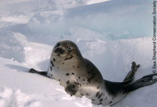 support Sen. Harb's bill to end seal slaughter in Canada