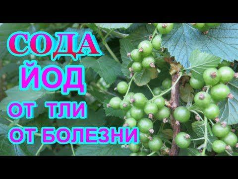 СОДА  КАЛЬЦИНИРОВАННАЯ  + ЙОД = СУПЕР СРЕДСТВО от ТЛИ, серой гнили ,мучнистой росы - всех растений.. - YouTube