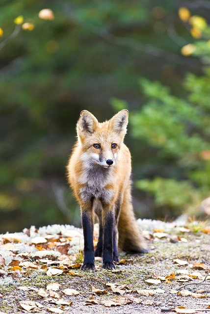 Algonquin Park - Red Fox ~ Ontario, Canada ~ Little fox approaching some hikers