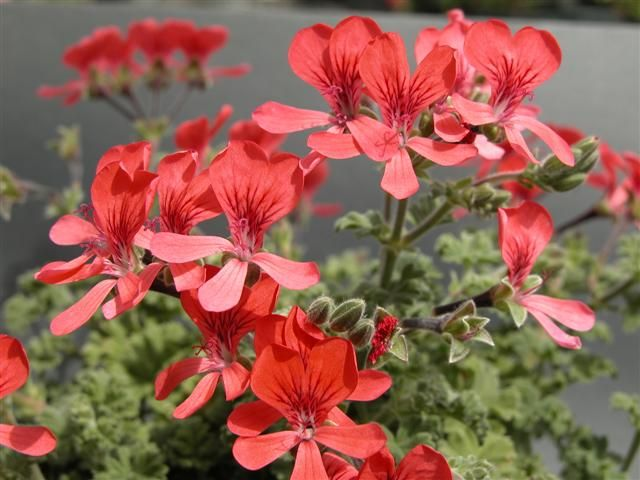 MILENA Pelargoniums (Angel and Pansy-Face)