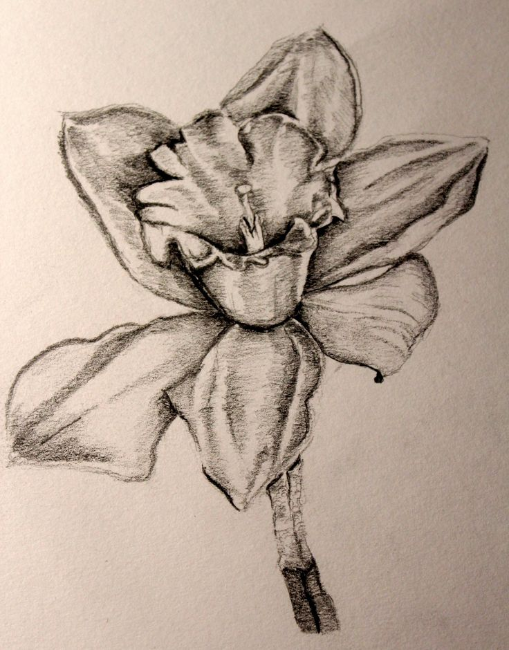 125 best Flowers drawing of daffodil images on Pinterest ...