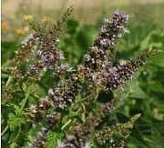 Viherminttu - Mentha spicata - grönmynta