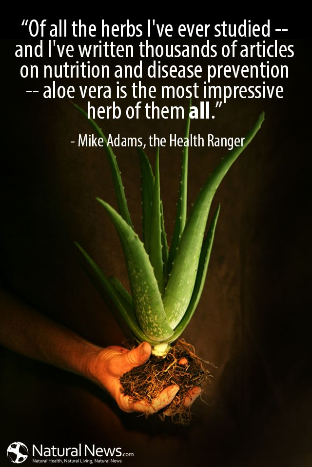 """Of all the herbs I've ever studied -- and I've written thousands of articles on nutrition and disease prevention -- aloe vera is the most impressive herb of them all."" - Mike Adams http://www.naturalnews.com/Quote-Aloe-Vera-Most-Impressive-Herb-Mike-Adams.html"