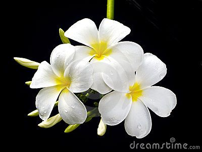 PLUMERIA FLOWERS , WITH BLACK BACKGROUND.  © Eyen120819 | Dreamstime.comPlumeria Flower