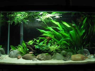Very Peaceful 29 Gallon Planted Tank.
