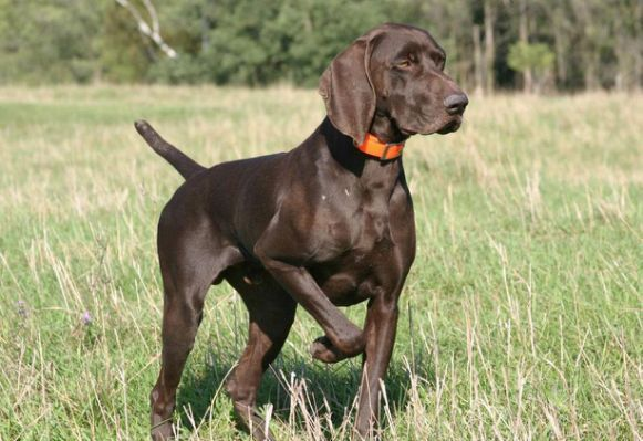 Watching German Shorthaired Pointer