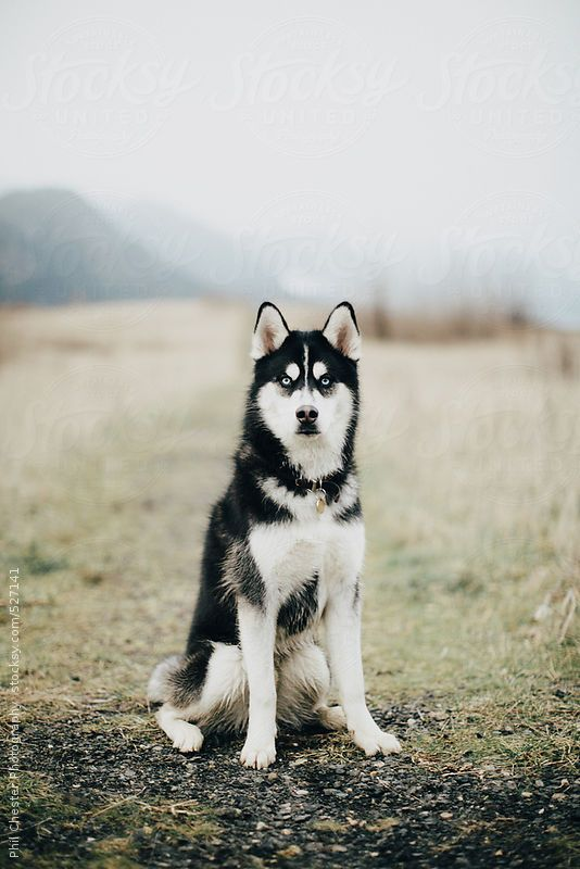 Blue Eyed Husky Dog Sits In Misty Foggy Field by PhilChester | Stocksy United