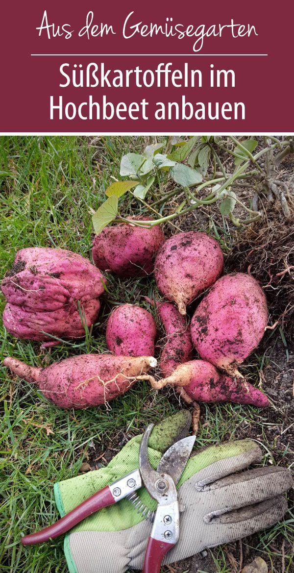 Su Kartoffeln Im Hochbeet Anbauen In 2020 Hochbeet Susskartoffeln Pflanzen Susskartoffeln Anbauen