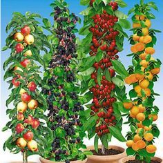 Säulen-Obst-Raritäten-Kollektion,4 Pflanzen