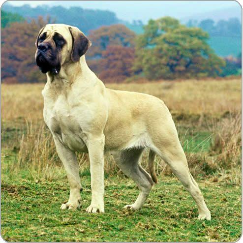 mastiff dogs | english mastiff old english mastiff country of origin england dog ...