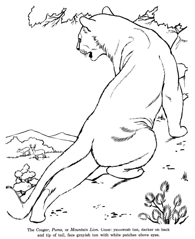 cougar drawing and coloring page - Coloring Pages For Paint Program