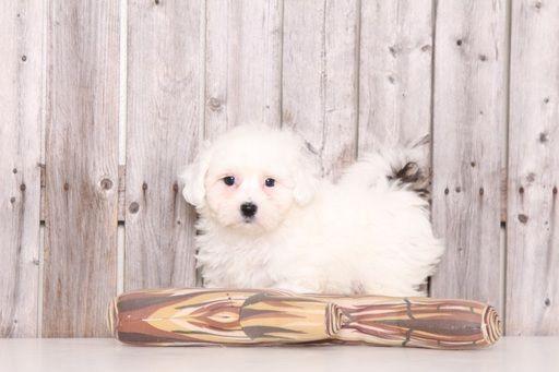 Zuchon puppy for sale in MOUNT VERNON, OH. ADN-28707 on PuppyFinder.com Gender: Male. Age: 8 Weeks Old